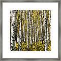 Fall Aspens Framed Print