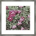 Fallin' Roses Framed Print
