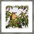 Feeding Cedar Waxwing Framed Print