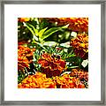 Field Of Marigolds Framed Print