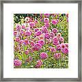 Field Of Pink Dahlias Framed Print