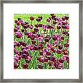 Field Of Purple Tulips 1 Framed Print