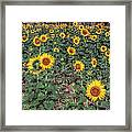 Field Of Sunflowers Framed Print by Adrian Evans