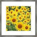Field Of Sunflowers Helianthus Sp Framed Print