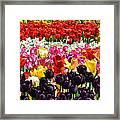 Field Of Tulips Ll Framed Print