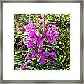Fireweed In Katmai National Preserve-ak- Framed Print
