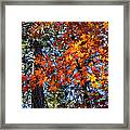 Flaming Maple Beneath The Pines Framed Print