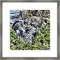 Florida Gator Framed Print