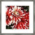 Flower-dahlia-red-white-trio Framed Print
