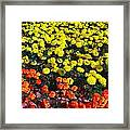 Flowerbed Of Narcissuses Framed Print