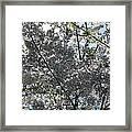 Flowering Cherry - White Framed Print
