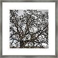 Folsom Old Oak  Framed Print