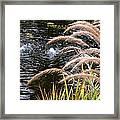 Fountain Grass Framed Print