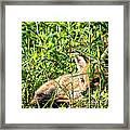Red Fox Pup Hiding Framed Print