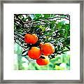 Fresh Orange On Plant Framed Print