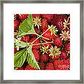 Fresh Picked Strawberries Framed Print