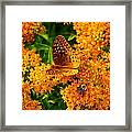 Fritillary On Butterfly Weed Framed Print