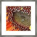 From Bud To Bloom - Sunflower Framed Print