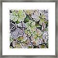 Frost On Waldsteinia Leaves. Framed Print