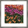 Fruity Tulips Framed Print