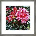 Fuschia Rhododendrons Framed Print