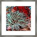 Giant Green Sea Anemone Against Red Coral Framed Print