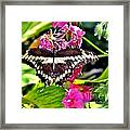 Giant Swallowtail Framed Print