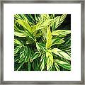 Ginger Lily. Alpinia Zerumbet Framed Print