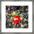 Glistening Wet Rose Hip Framed Print