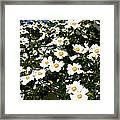 Glorious White Roses Db Framed Print