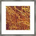 Golden Grass  Framed Print