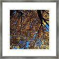 Golden Maple 8 Framed Print