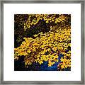 Golden Maples Framed Print