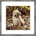 Golden Retriever Puppy Dog In Fallen Framed Print