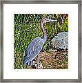 Goliath Heron By Water Framed Print
