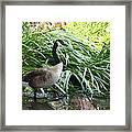 Goose Walking Back In For A Swim Framed Print