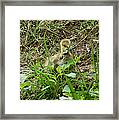 Gosling Chewing On Some Grass Framed Print