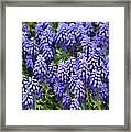 Grape Hyacinth At Thanksgiving Point - 1 Framed Print