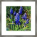 Grape Hyacinths 2014 Framed Print
