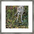 Gray Wolf Drinking Framed Print