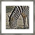 Grazing Zebra At The Buffalo Zoo 2 Framed Print