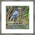 Great Blue Heron 9 Framed Print