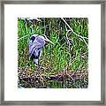 Great Blue Heron In Nature Framed Print