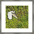 Great Egret Flying Over Rapti River In Chitwan Np-nepal Framed Print