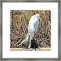 Great Egret1 Framed Print