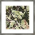 Green Grapes Growing On Grapevines Framed Print