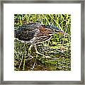 Green Heron And Catch Framed Print
