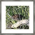 Green Heron - Juvenile Framed Print