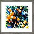 Green Leaves And Mature Oranges On The Tree Framed Print
