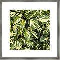 Grisilinia Littoralis 'dixon's Cream' Framed Print